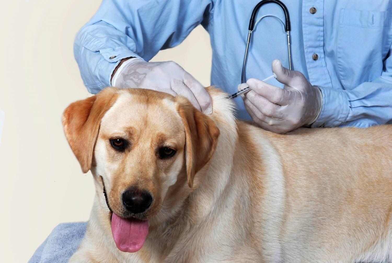 Глистогонное для собак перед прививкой: правила и рекомендации