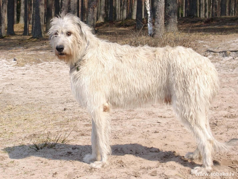 Гампр — армянский волкодав собака. описание, особенности, уход и цена гампра