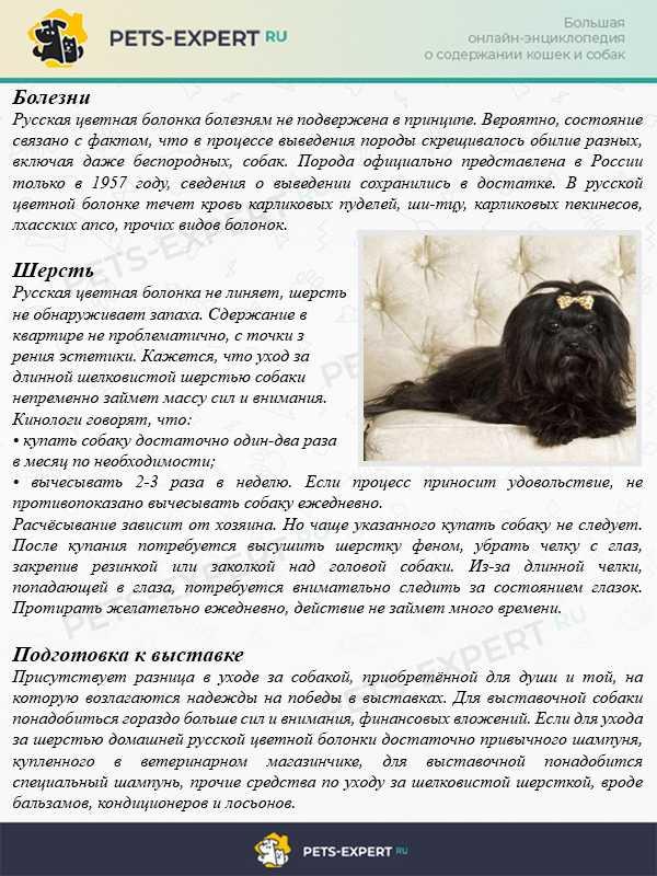 Порода русская цветная болонка: фото щенков, описание характера