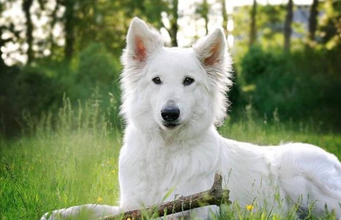 Белая швейцарская овчарка (бшо): описание породы и характеристика, содержание и уход за собакой