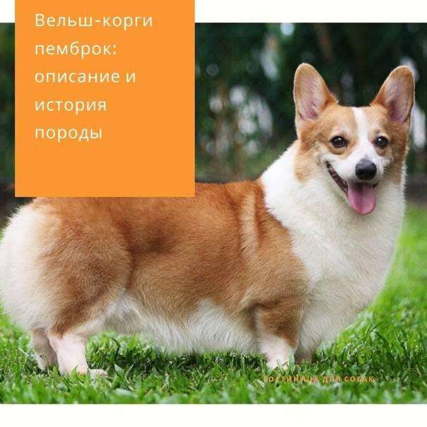 Корги уход и содержание. советы ветеринара по уходу, воспитанию и содержанию за вельш корги.