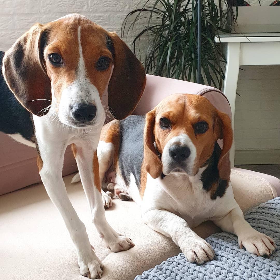 Эстонская гончая. о породе собак: описание породы эстонская гончая, цены, фото, уход