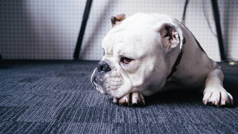 10 спокойных пород собак: их описание и стоимость