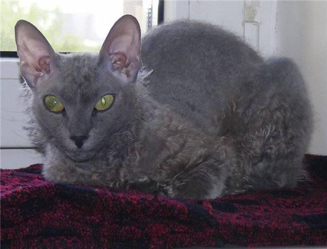 Порода кошек метис: описание разновидностей, как выбрать