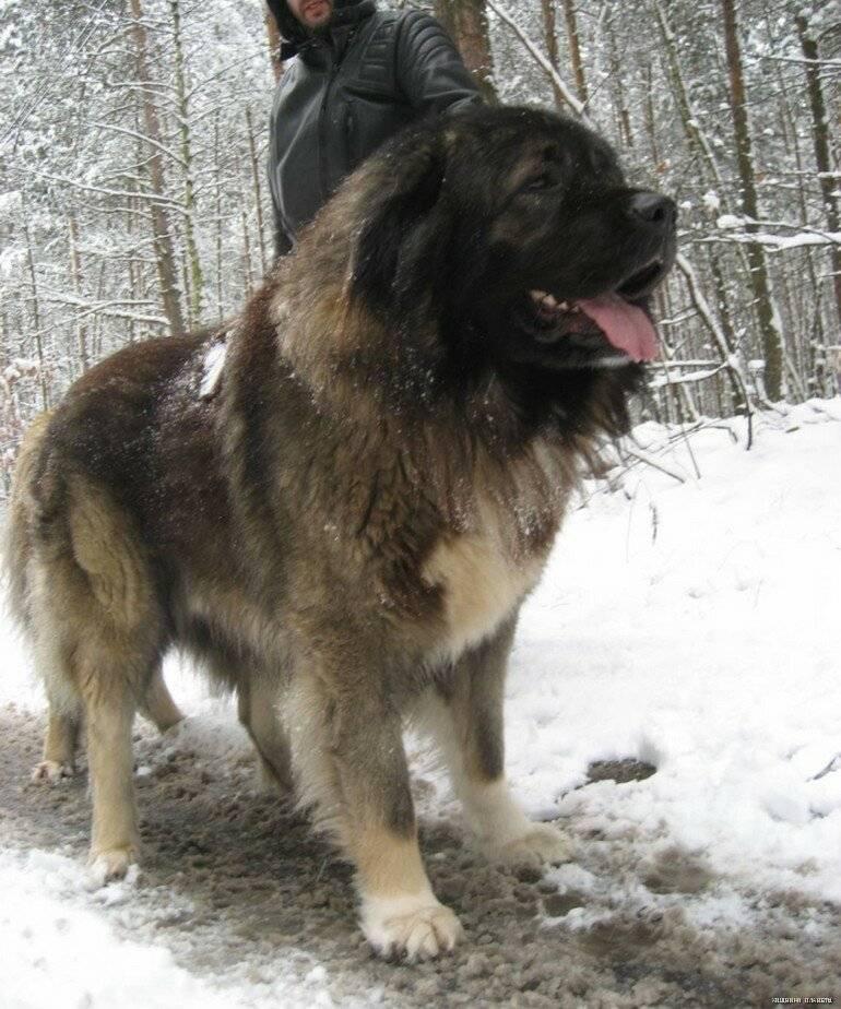 Волкодав — собака, которая достойна внимания и любви людей