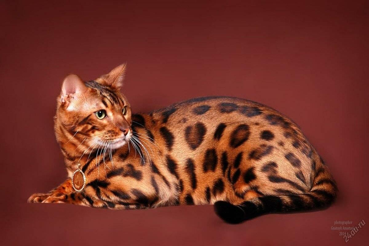 Японские кошки: характеристика, выбор и правила ухода
