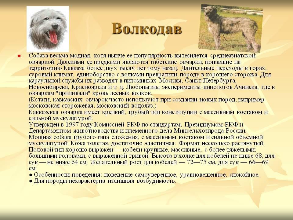 Московская сторожевая собака: фото, описание породы, характер и цены