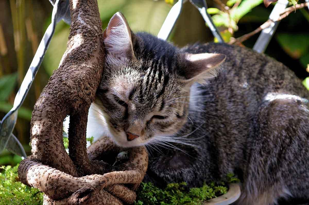 Бразильская короткошёрстная кошка: описание, характер, фото, цена, содержание