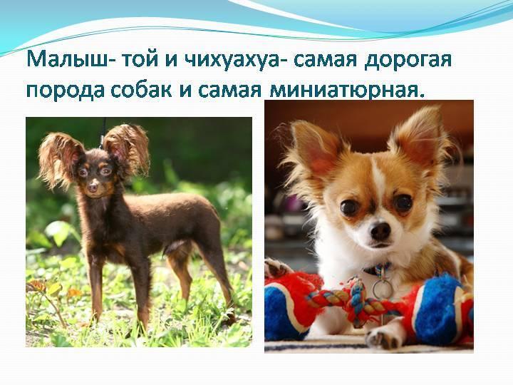 Топ-20 самых маленьких собак в мире