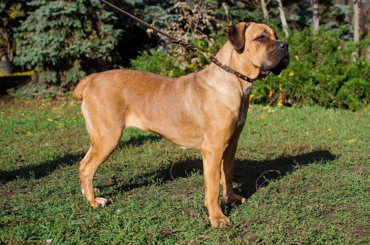 Испанский алано (аланский дог): описание и характеристика породы, содержание и уход за собакой