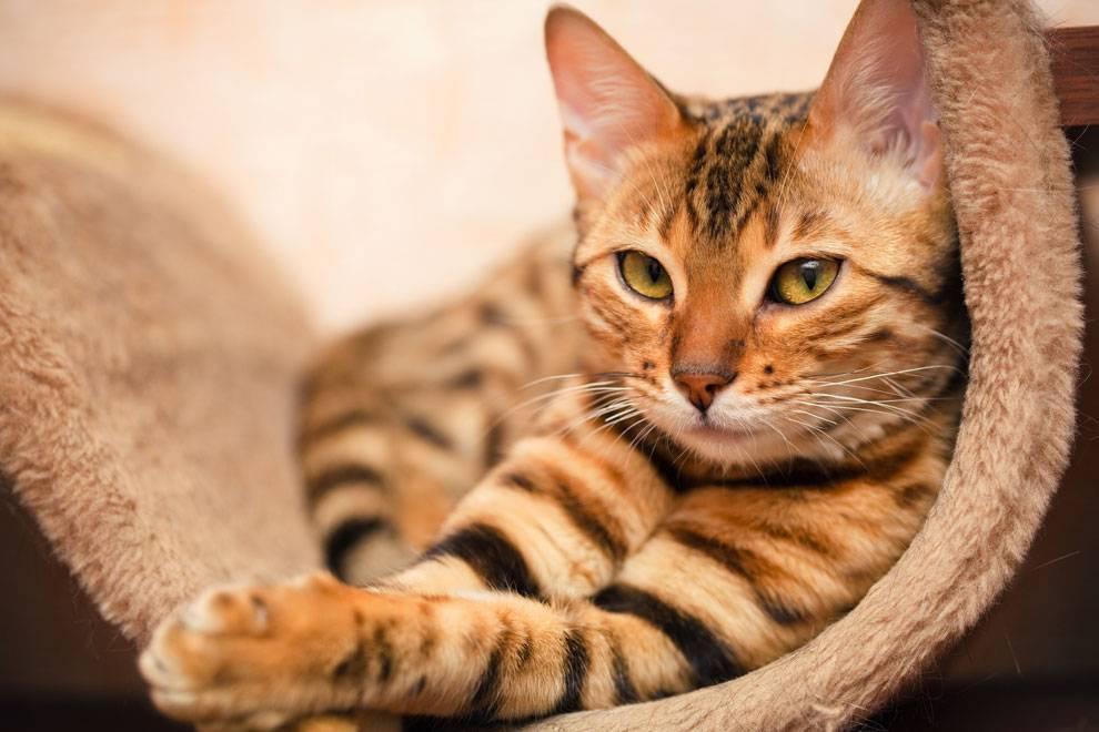 Породы кошек: описание всех видов и список с названиями по алфавиту - kotiko.ru