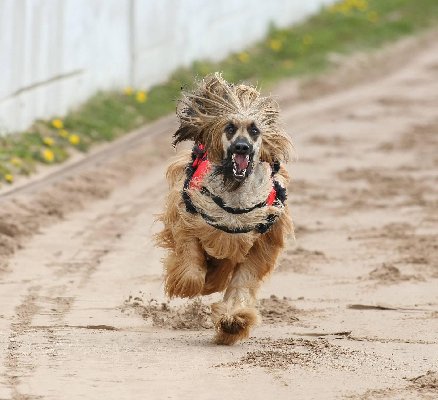 ᐉ 10 самых быстрых пород собак в мире: фото, описание и с какой скоростью бегают - kcc-zoo.ru