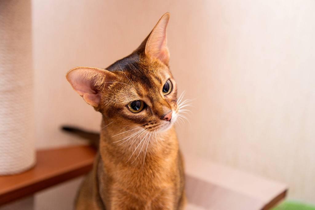 Абиссинская кошка: фото окрасов, описание породы, характер,цена