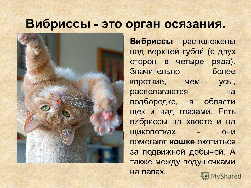 Усы у кота: зачем они нужны, как называются, почему выпадают и ломаются, как помочь кошке при возникновении проблем с вибриссами