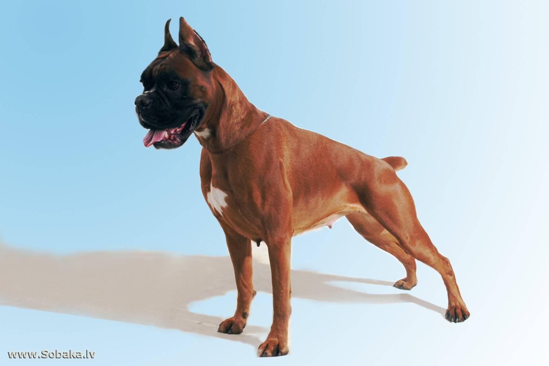 Немецкий боксер: лучшая порода собак, описание, характеристика, вес, как выглядит, щенки, стоимость