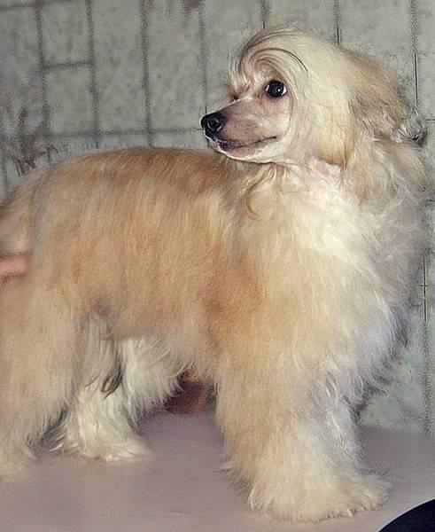 Китайская хохлатая пуховка: описание собаки, уход, как постричь