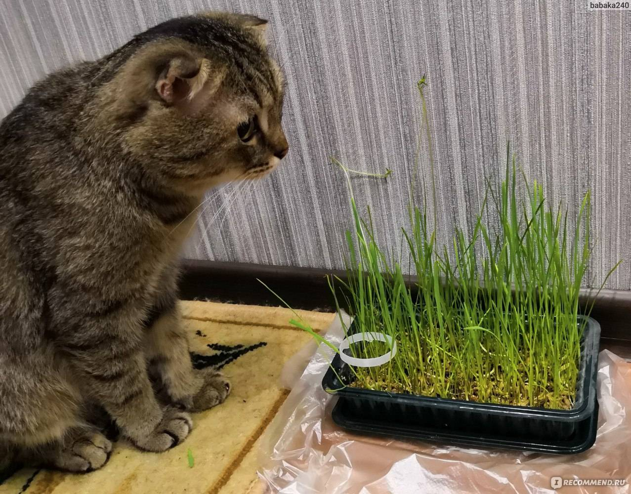 Трава для кошек: какую травку любят и зачем ее едят, как посадить