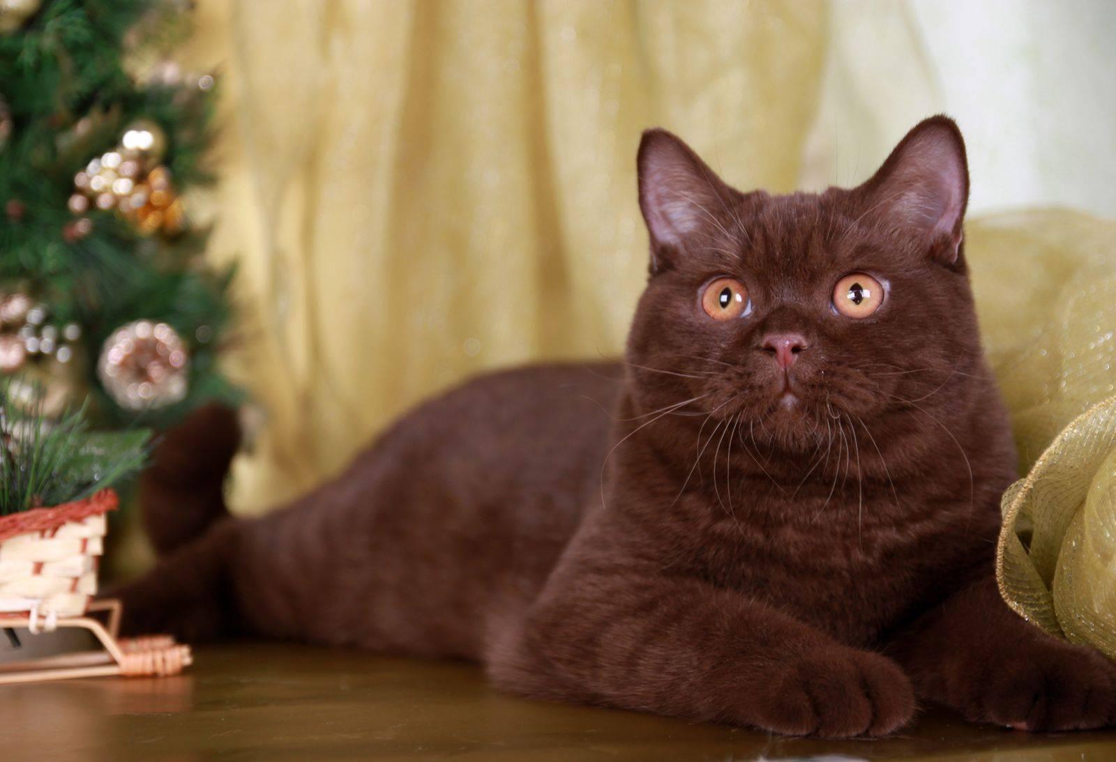 Подробное описание йоркской кошки шоколадного окраса: стандарт породы
