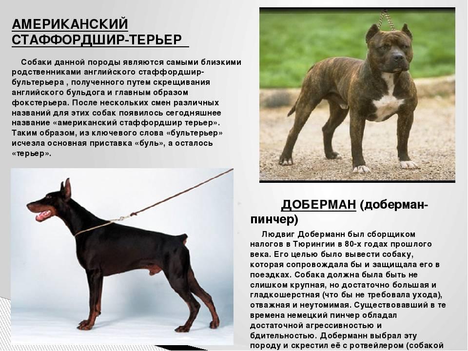 Фараонова собака: фото и описание породы, содержание, цена и уход