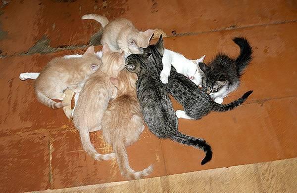 Почему кошка может родить не всех котят сразу
