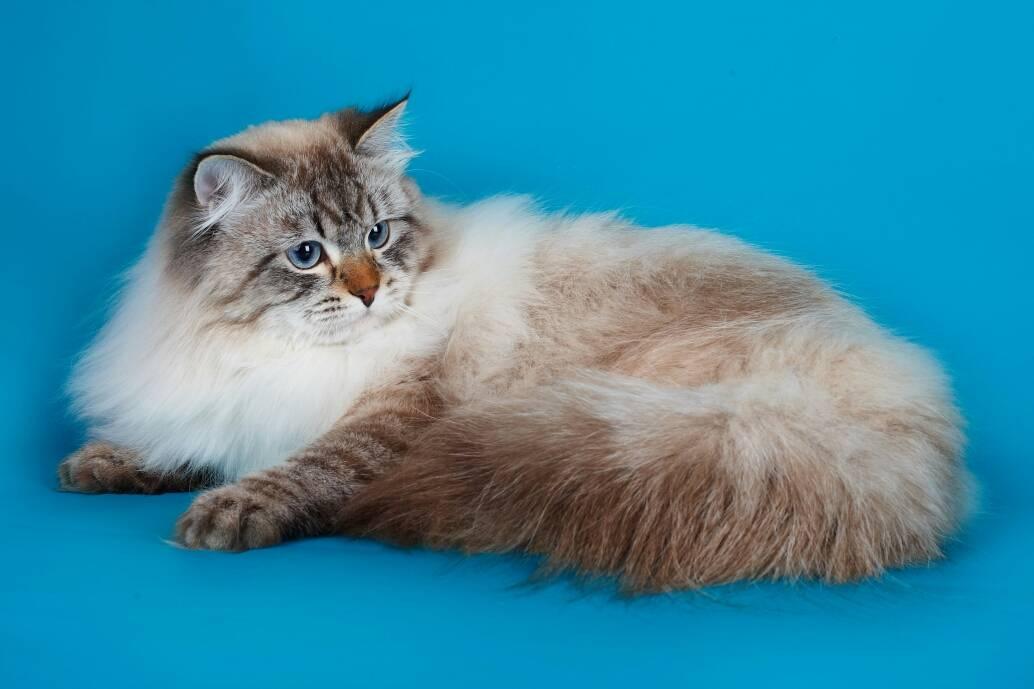 Невская маскарадная кошка (45 фото): описание котов питерской маскарадной породы, достоинства и недостатки котят. особенности характера. отзывы владельцев