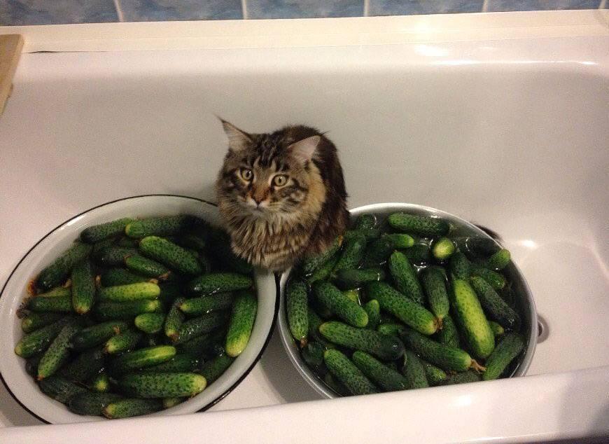 Почему несовместимы кошки и огурцы: причины сильной боязни овоща у котов