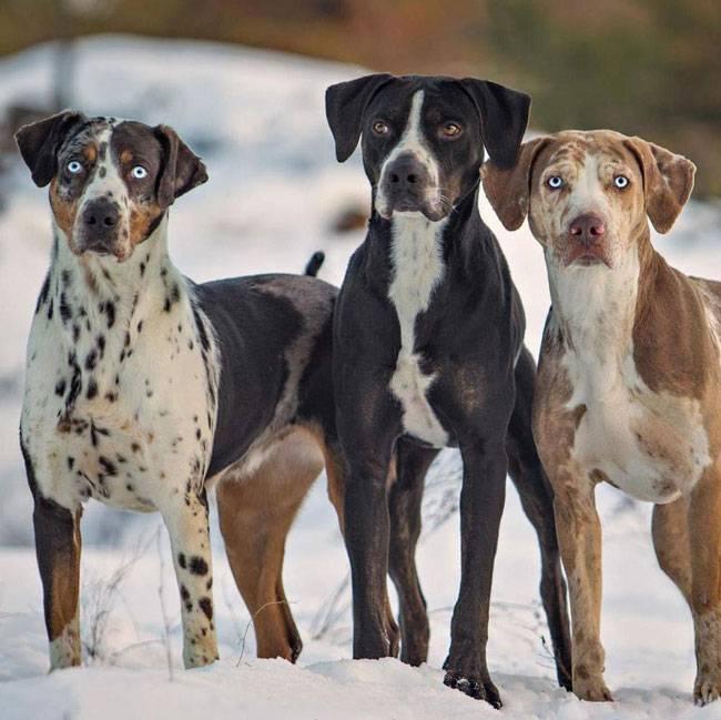 Леопардовая собака катахулы: описание, фото, уход, цена | все о собаках
