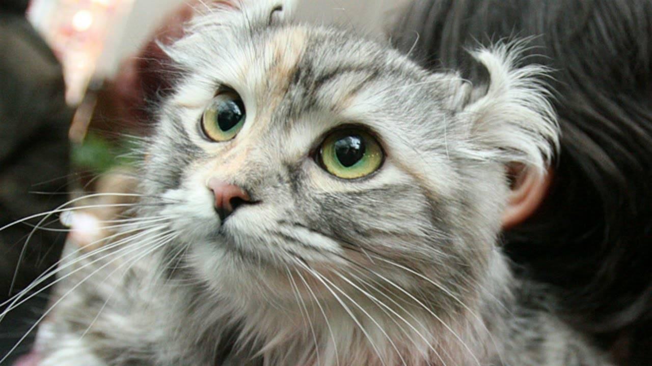 Американский керл (120 фото) — подробное описание породы кошки от а до я. видео, цена, отзывы, содержание и уход