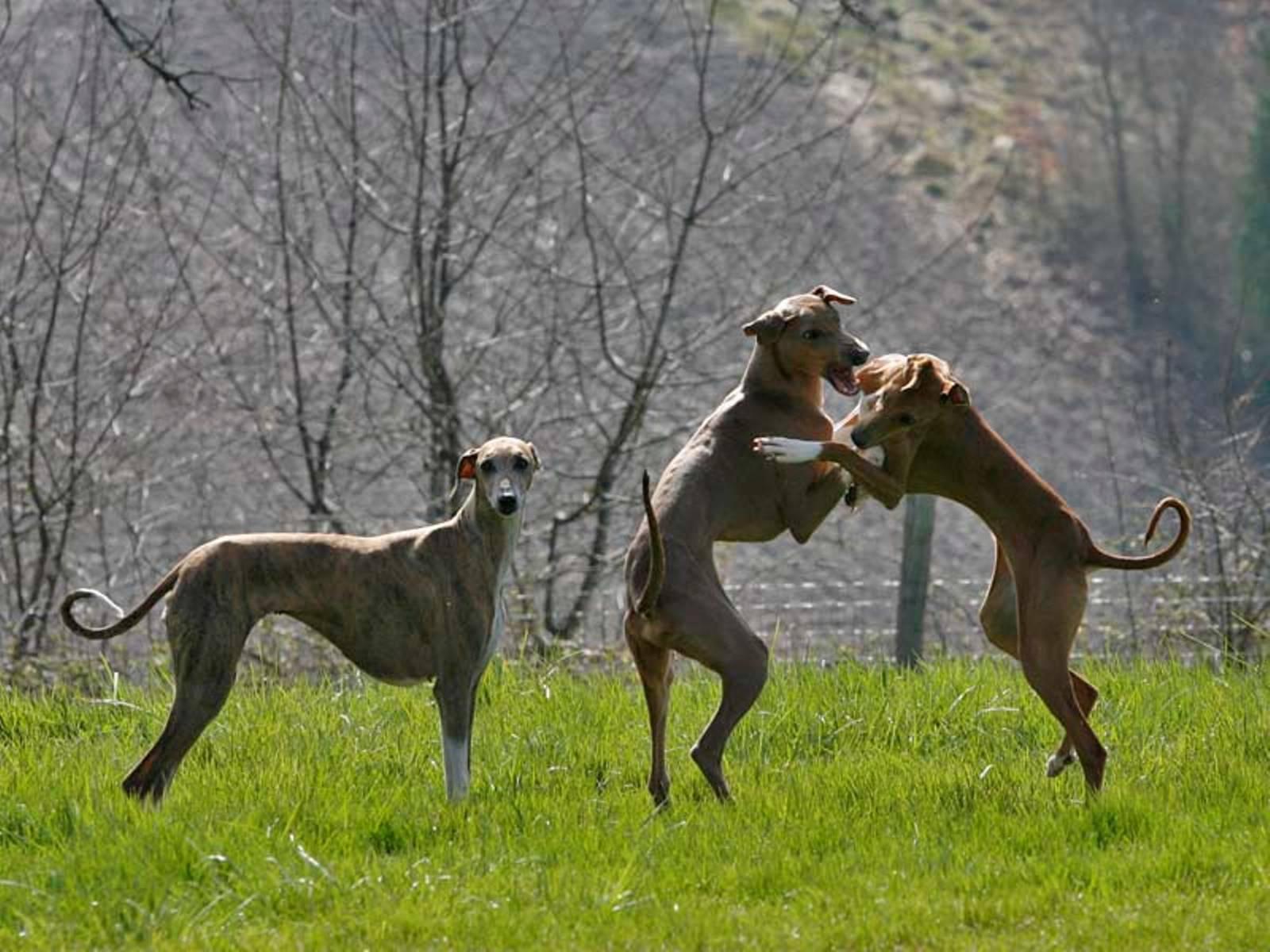 Характеристика собак породы азавак (африканская борзая) с отзывами и фото