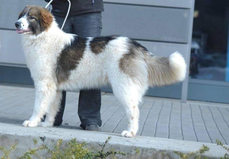 Тибетский терьер — описание породы собак