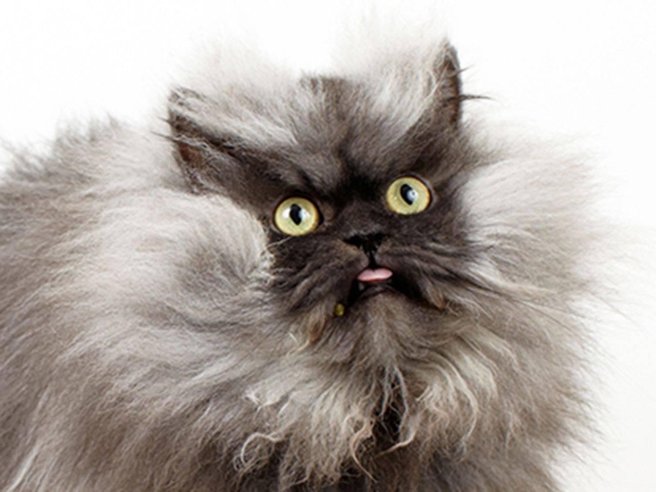 У какой породы кошек хвосты пушистые, как у белок?