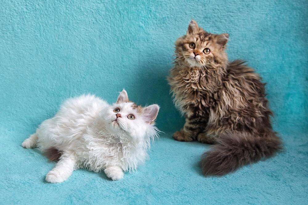 Лаперм кошки: описание породы, фото, видео, характер, уход