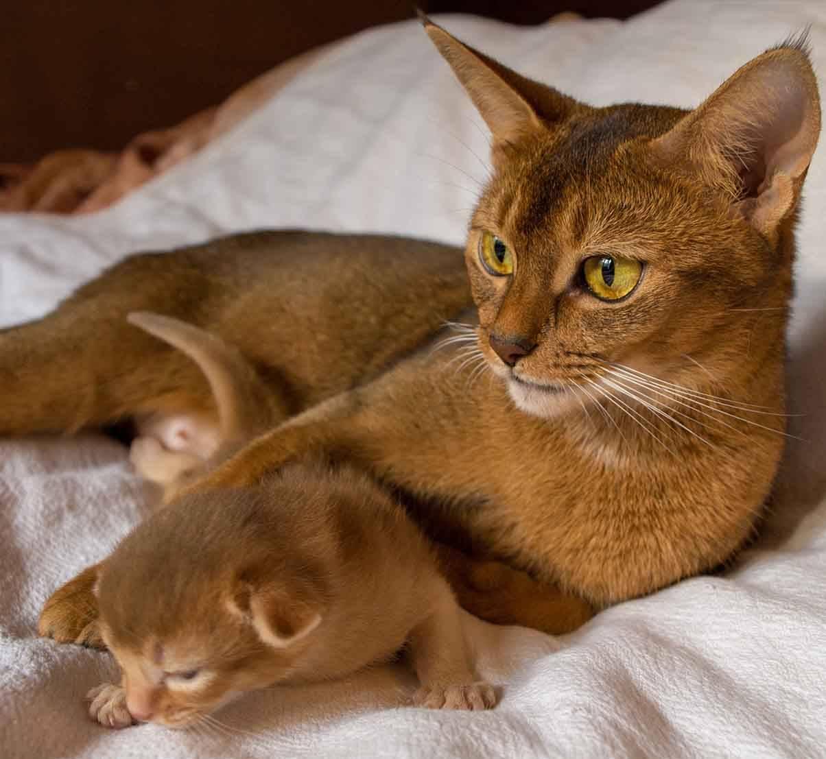 Абиссинская кошка: подробное описание, фото, купить, видео, цена, содержание дома