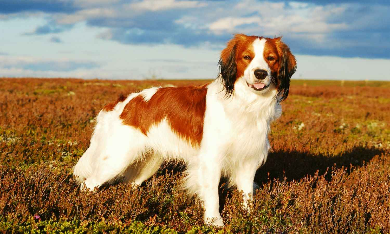 Папильон (континентальный той-спаниель): фото, описание собаки и уход