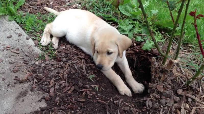Копрофагия у четвероногих: почему собака ест кал
