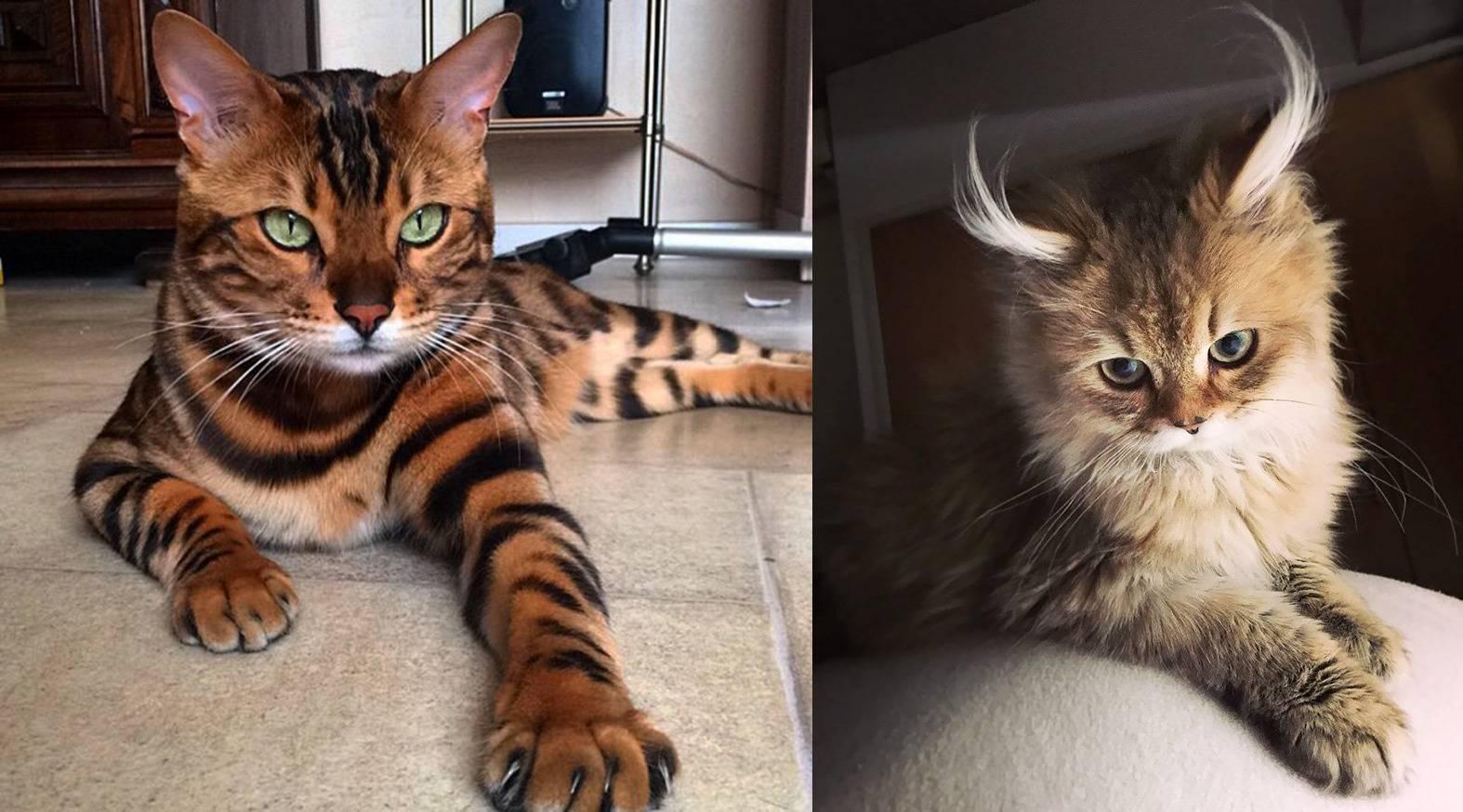 Топ 10 самых популярных пород кошек в мире (10 фото)