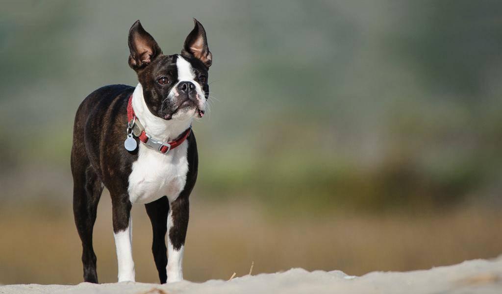 Бостон-терьер: фото собаки и описание породы