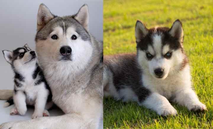 Какие есть отличия между хаски и аляскинским маламутом: сравнение пород
