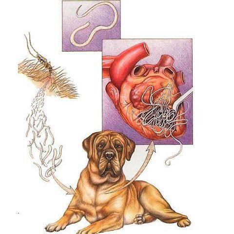 Глисты в сердце у собаки: сердечный дирофиляриоз | hill's pet