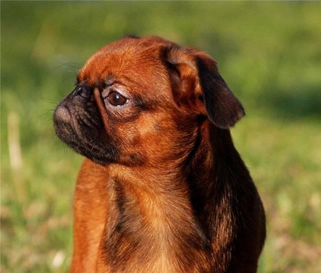 Порода собаки брабансон: описание, характер, дрессировка, уход