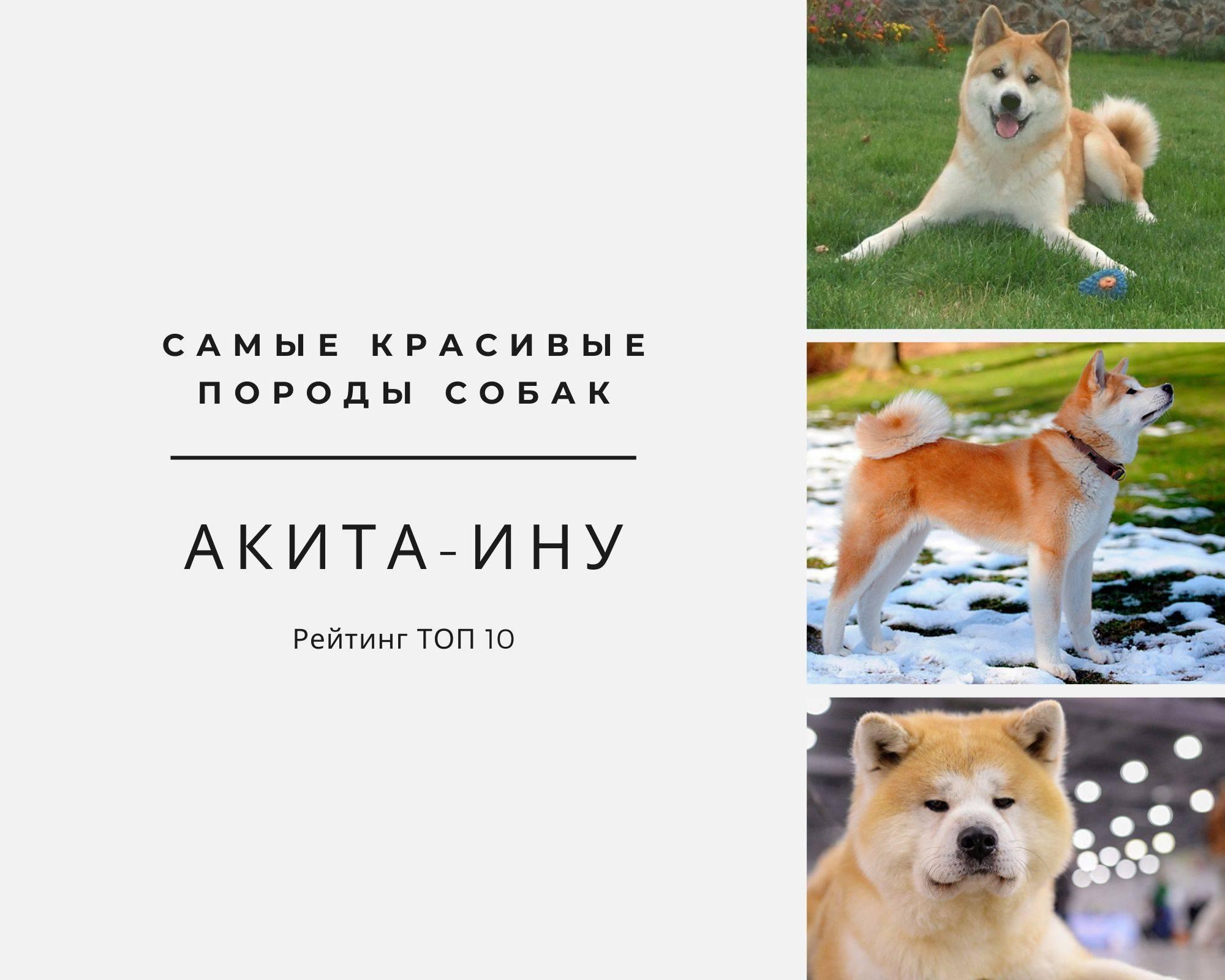 Описание породы собак американская акита ину, собака хатико