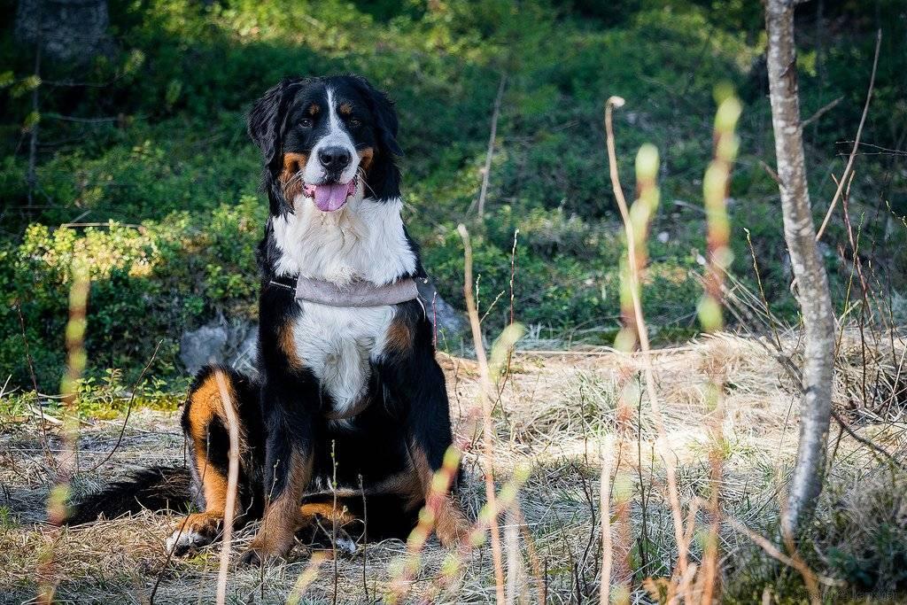 Зенненхунд. описание, особенности, цена и уход за зенненхундом | животный мир