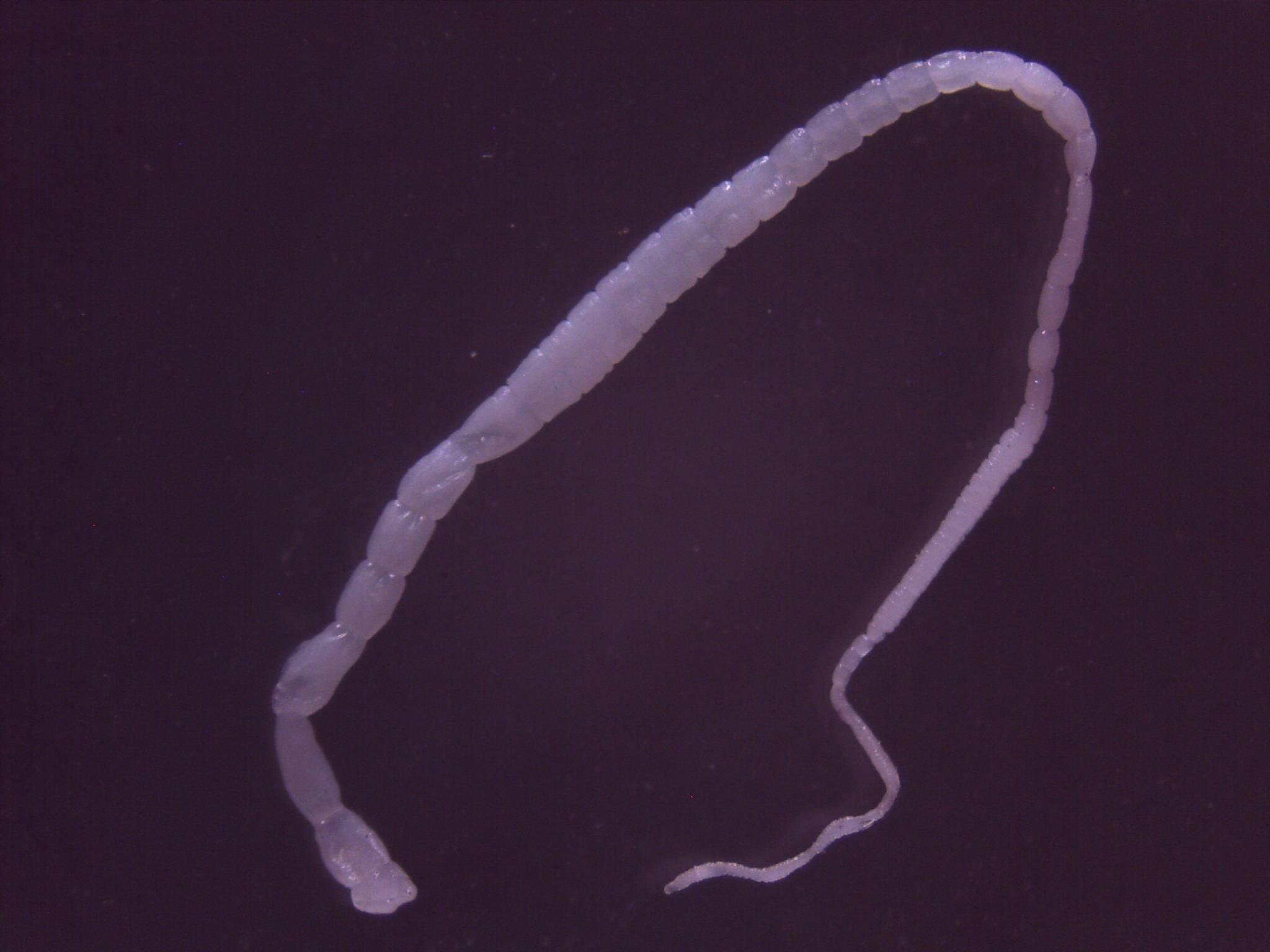 Дипилидиоз