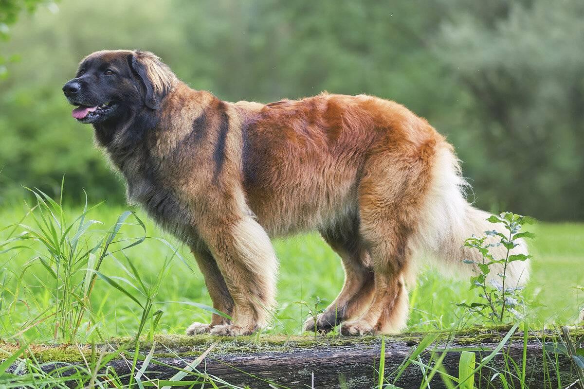 Леонбергер собака: описание породы, фото, цена, продолжительность жизни, внешний вид, окрас, щенки