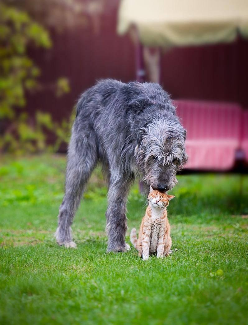 Ирландский волкодав (64 фото): характер и отношения с человеком, описание щенков этой породы собак и размеры, отличия от дирхаунда
