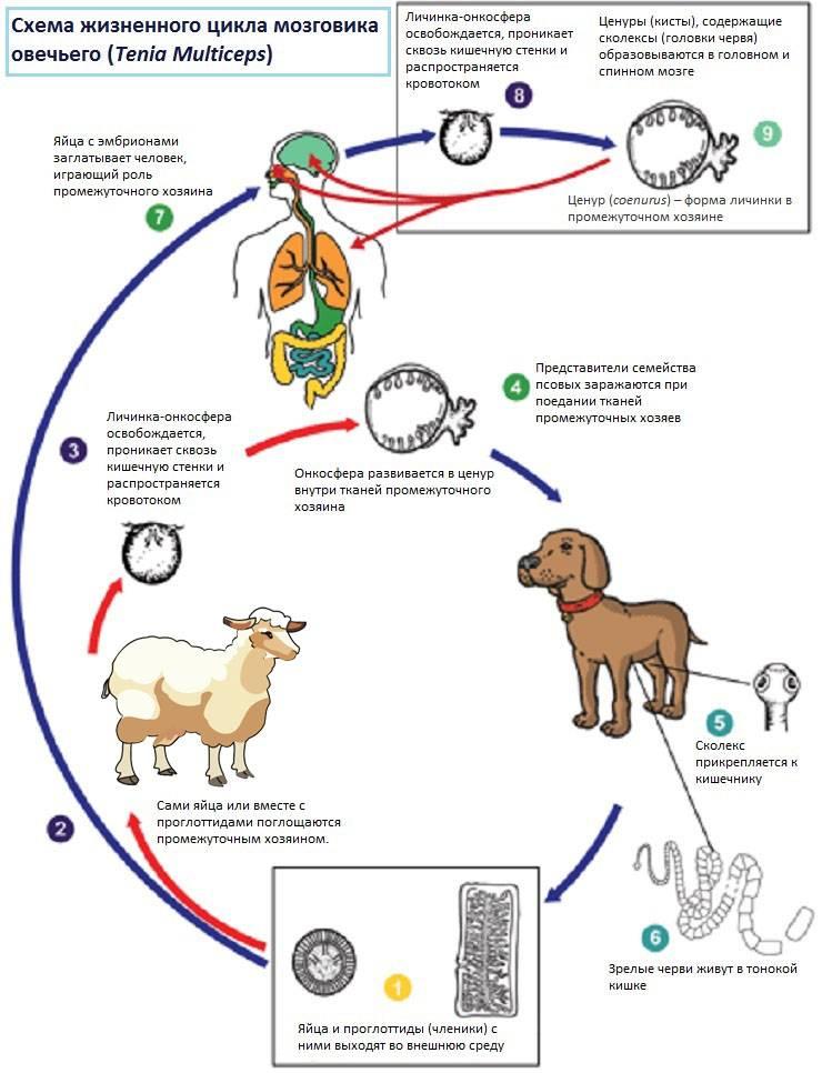 Боррелиоз у собак: признаки, лечение и профилактика