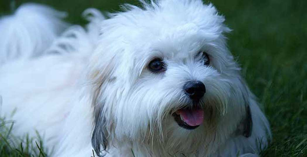 Котон-де-тулеар - характер и описание породы собаки