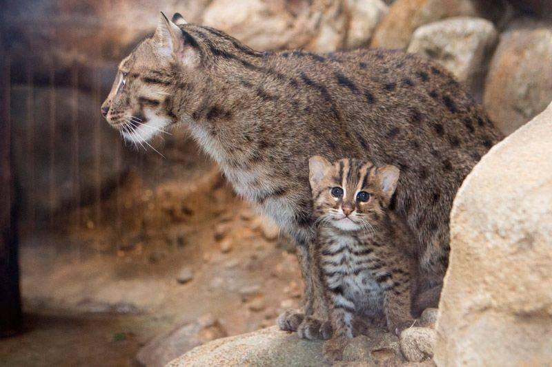 Виверровый кот-рыболов: описание породы, содержание в домашних условиях, фото и видео