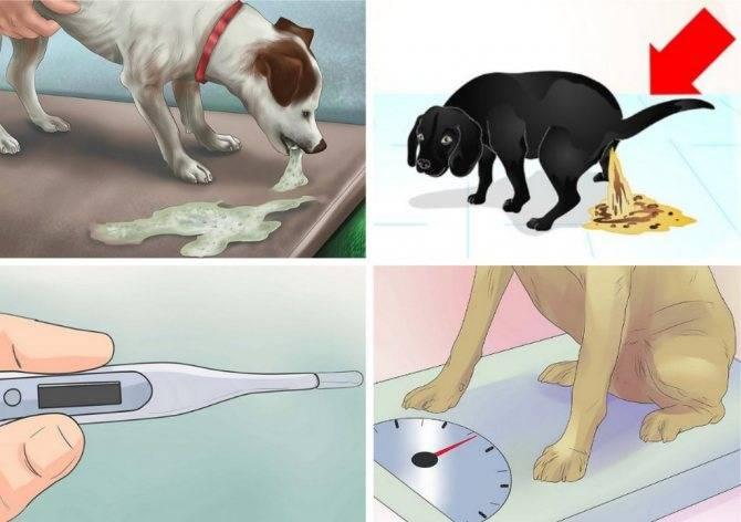 Гастроэнтерит у собак: симптомы и как лечить