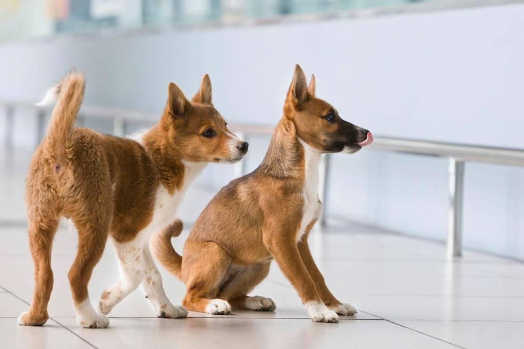 Собака сулимова: описание, характеристика, фото | все о собаках